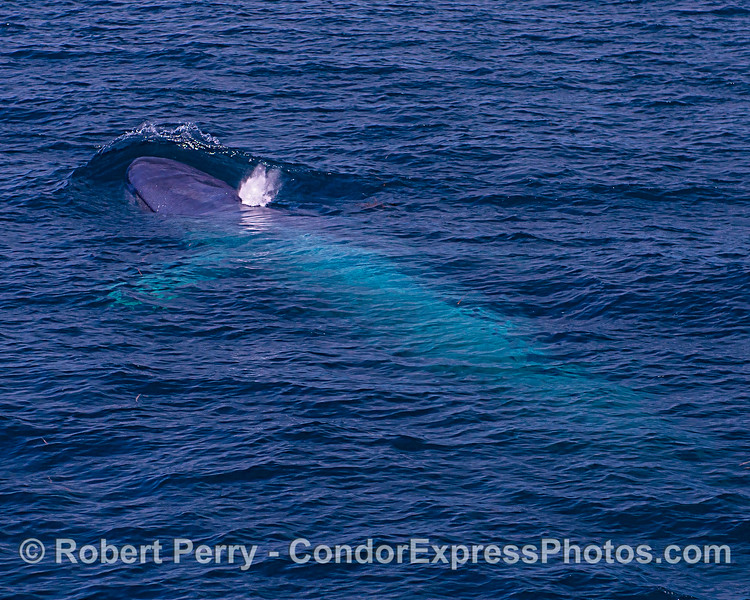 Blue whale with body seen shining under the surface.