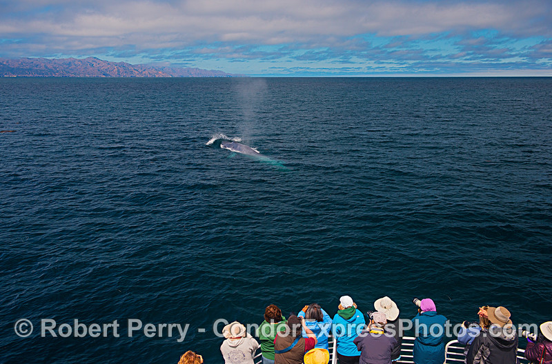 Santa Cruz Island, whale lovers and a giant blue.