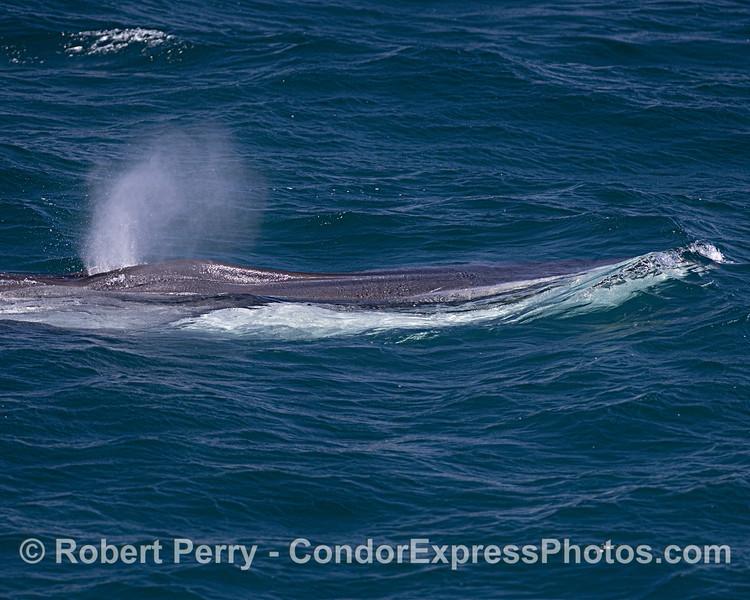 Fin whale.