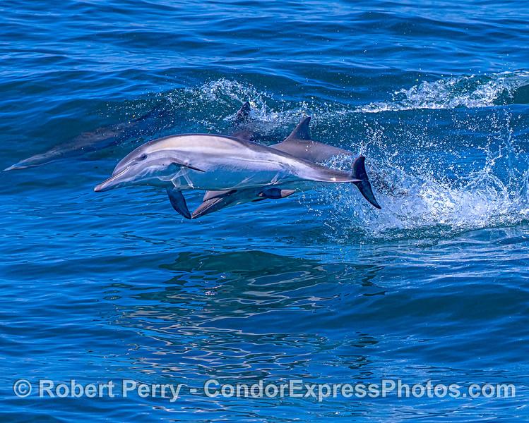Delphinus capensis 2 leap together close 2018 07-22 SB Channel East-053