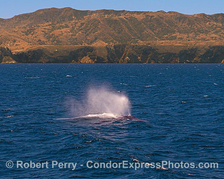 Blue whale. Santa Cruz Island.