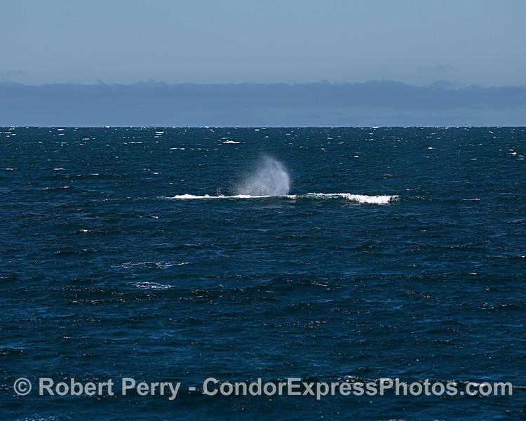 Blue whale.