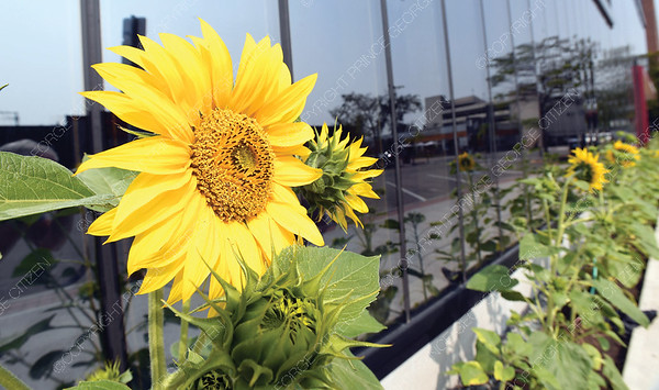 Sunflowers spotted growing beside the Wood Innovation and Design Centre on the 5th Avenue Side.   Citizen photo by Brent Braaten   July 24 2018