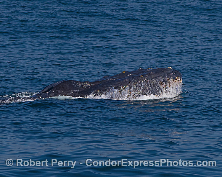 A small head-lift by a humpback whale
