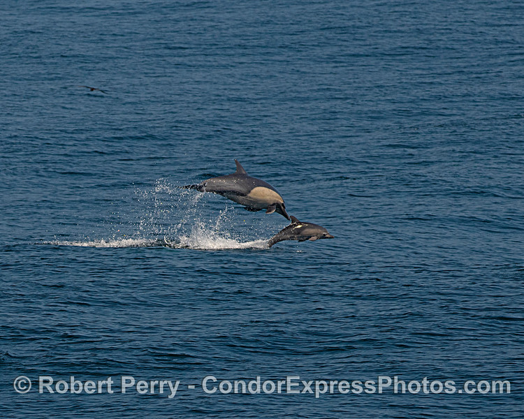 Mother dolphin and her calf leap together.