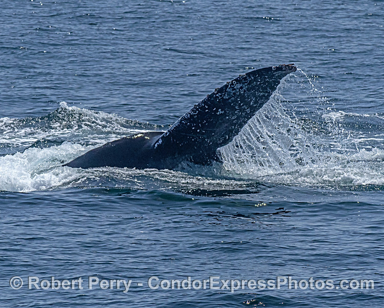 Half of a fluke - humpback tail