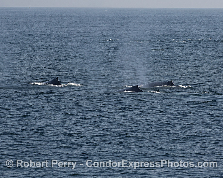 A trio of humpback whales that travelled in a tight group near the boat for over 1/2 hour.