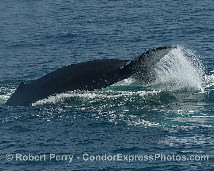 Power stroke - humpback whale.