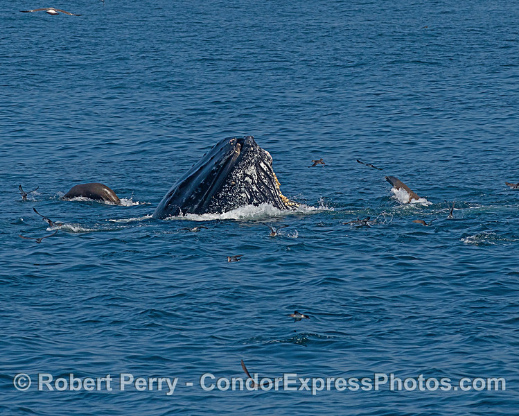 Surface lunge feeding humpback shows its baleen with ever-curious California sea lions