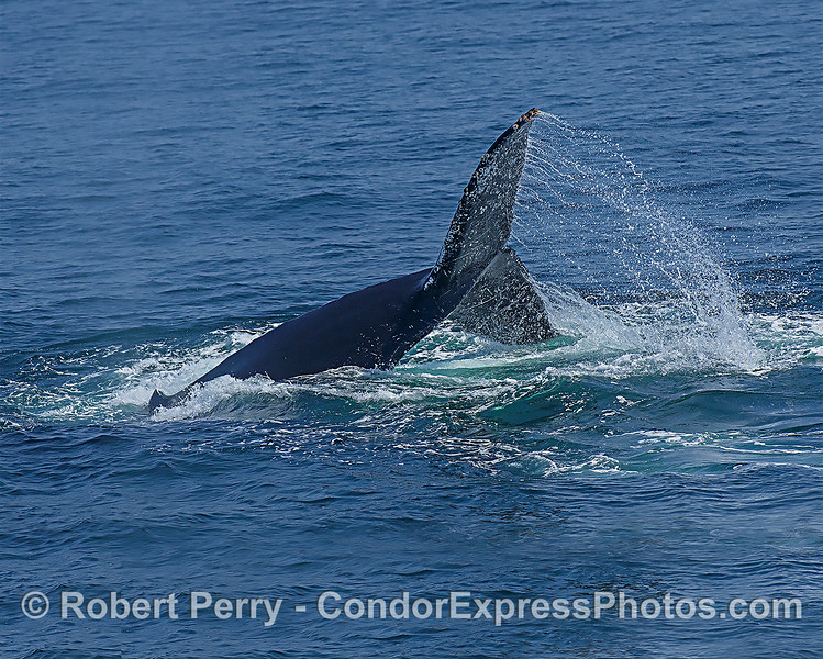 Nice humpback whale tail fluke spray.