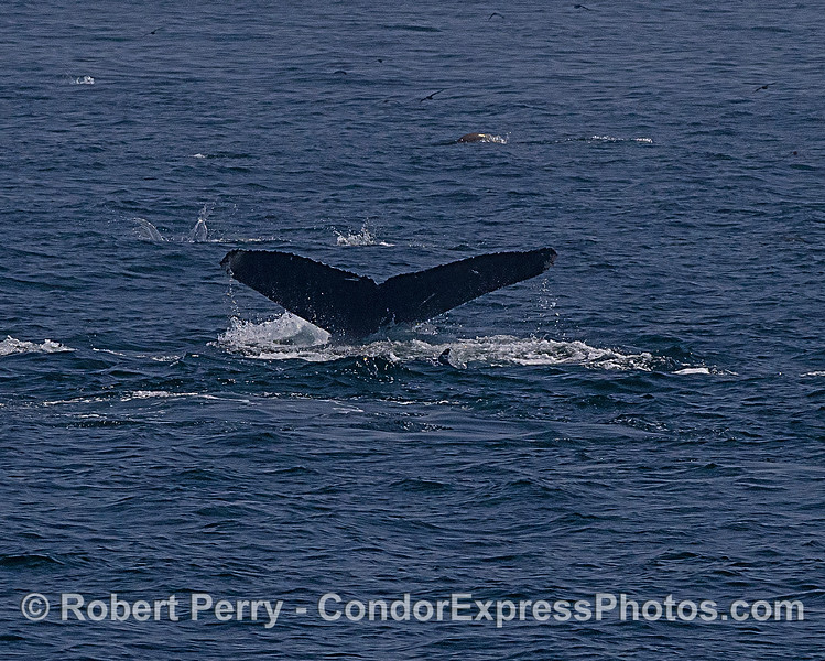 Humpback whale tail with dolphins and sea lions