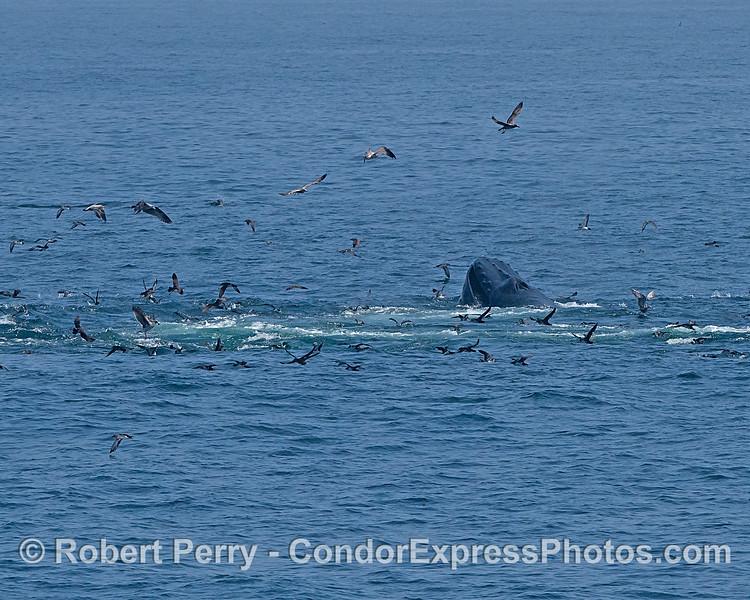 Surface lunge-feeding humpback whale and its feathered entourage