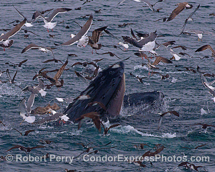 OPEN WIDE!  A surface lunge-feeding humpback whale has its mouth wide open to engulf a school of anchovies.  It's baleen plates hang down from the roof or its mouth.  A seabird frenzy is taking place on this oceanic hot spot.