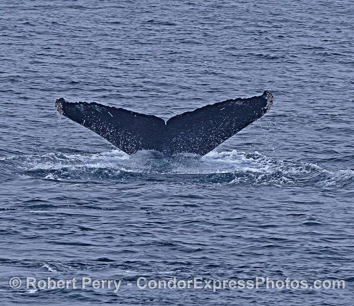 Humback whale tail flukes ID shot #e12