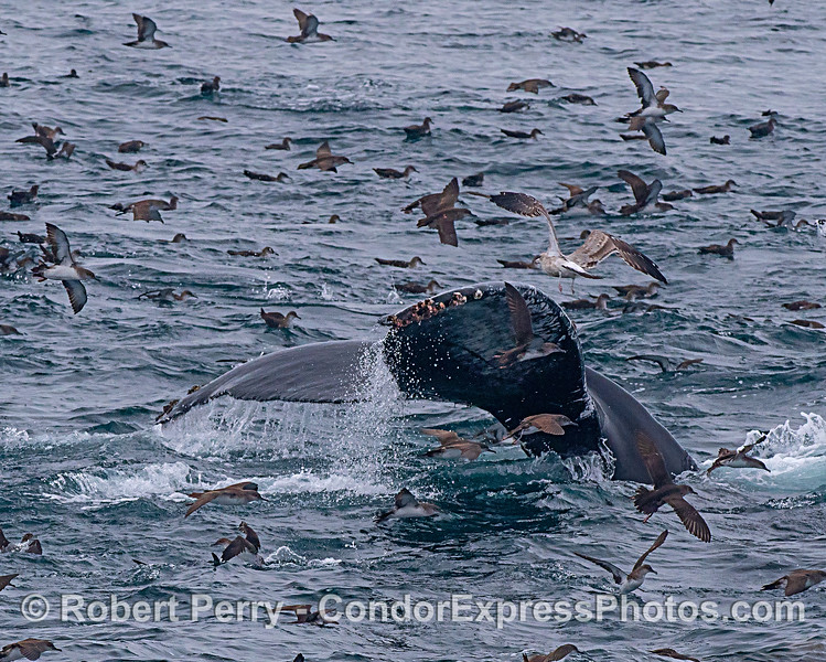 Humback whale tail flukes among feathered friends
