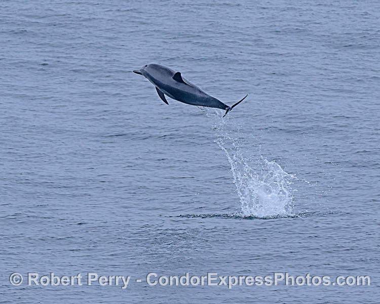 A high-flying long-beaked common dolphin.