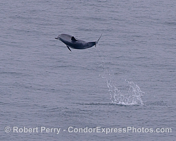 A leaping, high flying, long-beaked common dolphin.