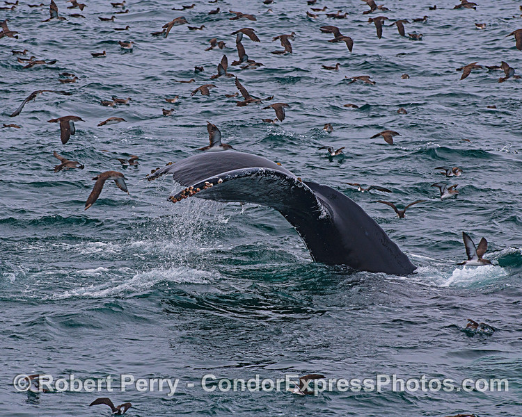 Humback whale tail flukes with lots of shearwaters.