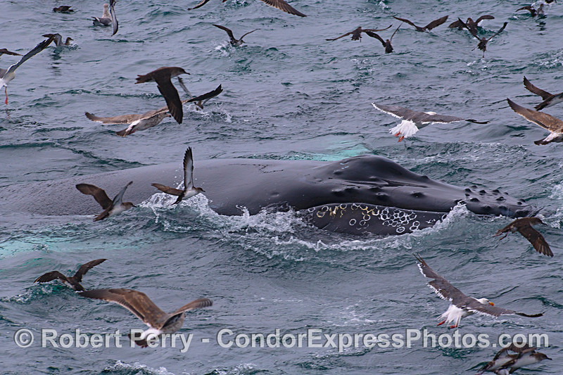 Humpback and shearwaters