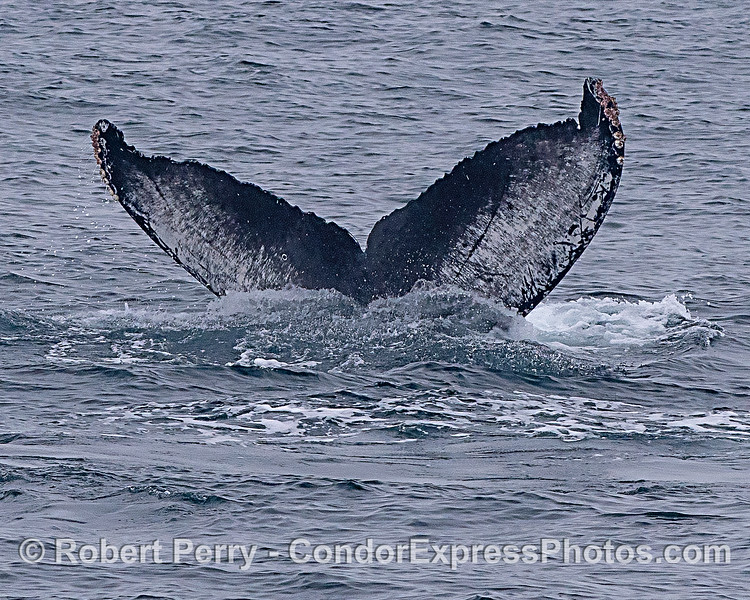 Humback whale tail flukes ID shot #g005