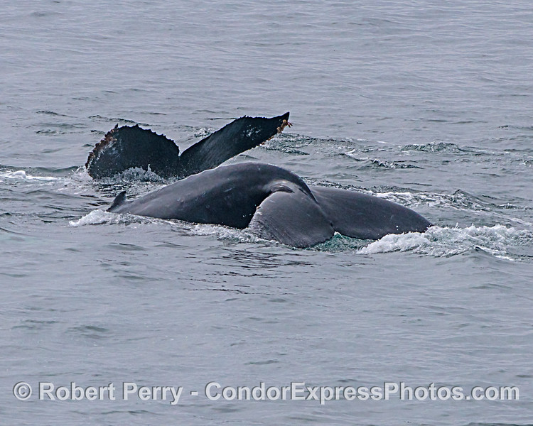 Mother humpback and her calf show tail flukes side-by-side