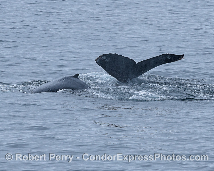 Mother humpback (tail fluking) and her calf.