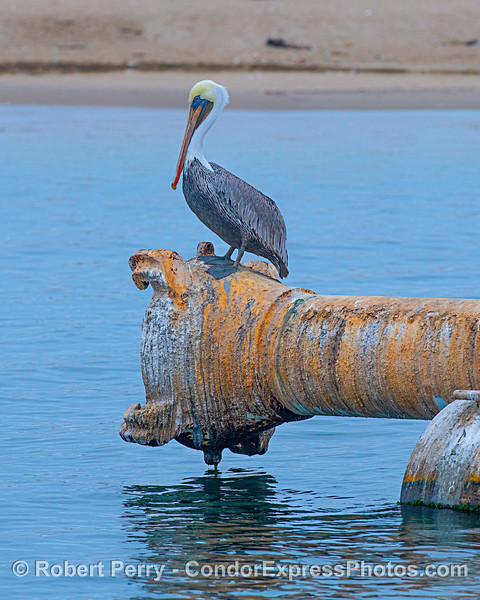 Brown pelican on harbor dredge pipes.