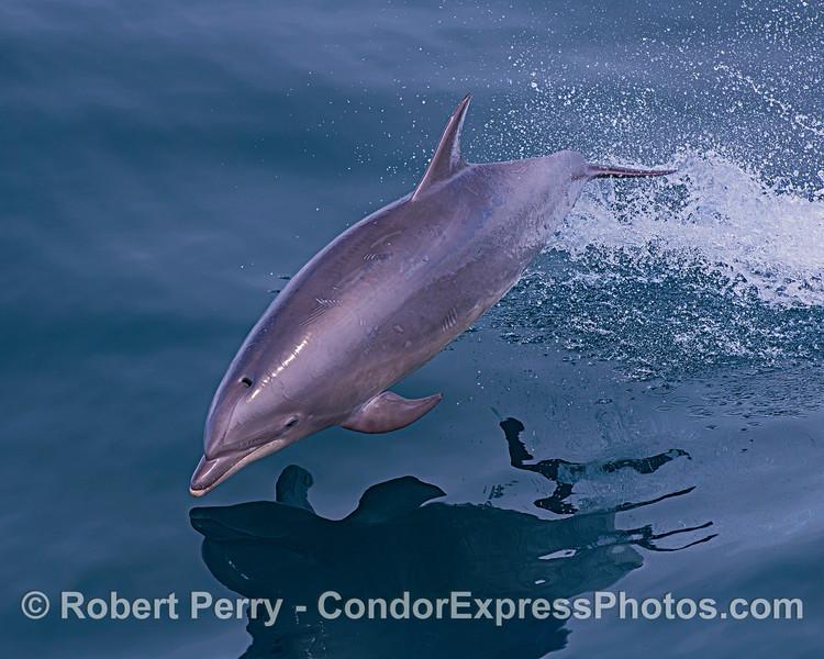 Offshore bottlenose dolphin