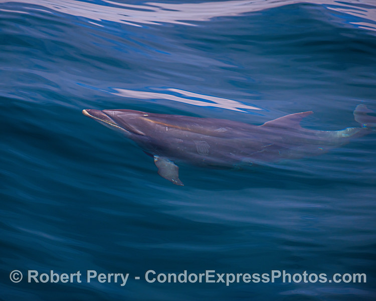 Offshore bottlenose dolphin seen under the waves