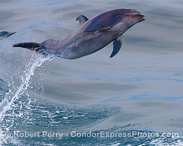 "A ""happy"" offshore bottlenose dolphin leaps high out of the water"