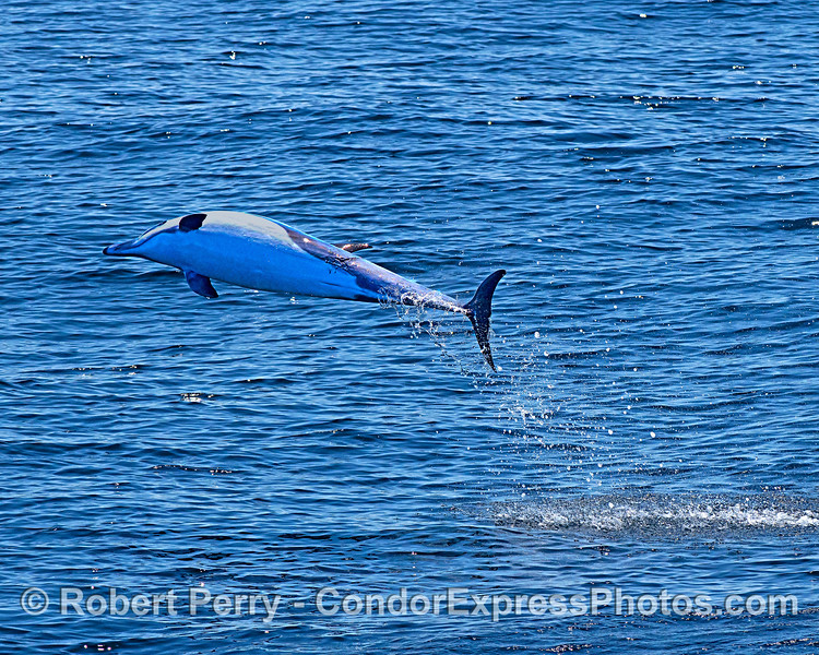 A leaping short-beaked common dolphin shows us its belly