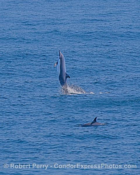 Short-beaked common dolphin tail-walking