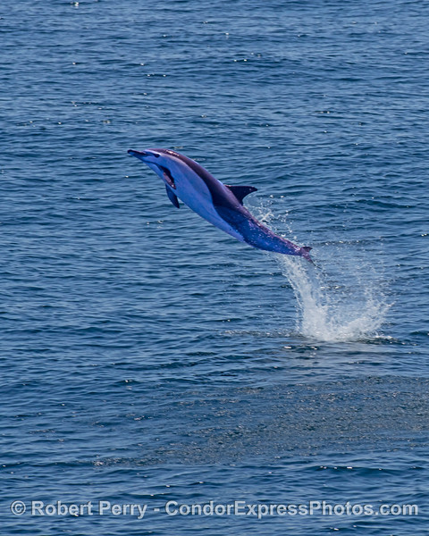 A high-flying short-beaked common dolphin