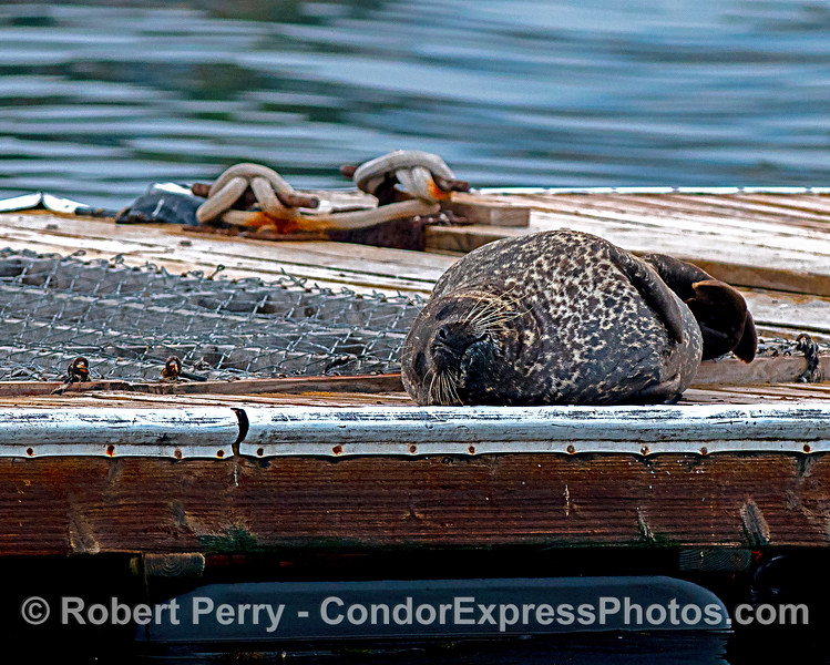 Pacific harbor seal...ssssssssssh!