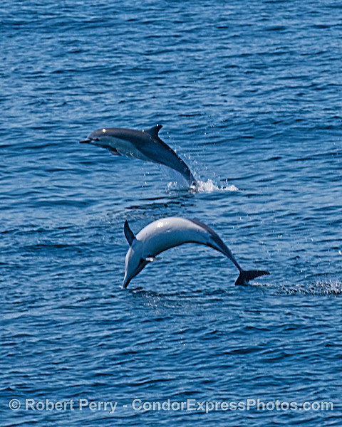 Two short-beaked common dolphins