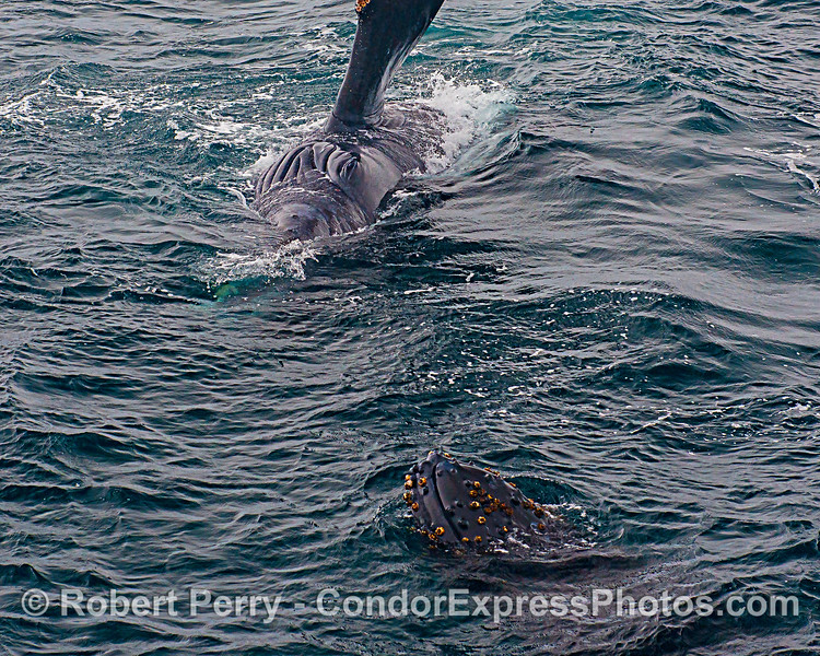 Mother humpback whale (top) on her side, keeps an eye on her calf (bottom) as it pokes its head up out of the water.