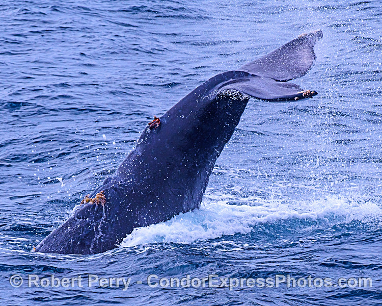 Upside-down humpback tail slaps its tail