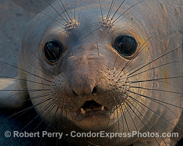 Portrait:  female elephant seal.