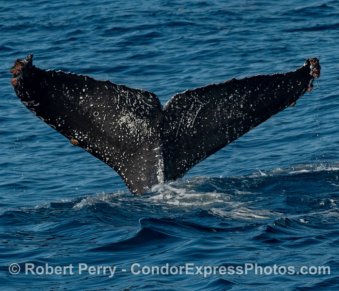 Tail fluke ID shot - humpback whale.