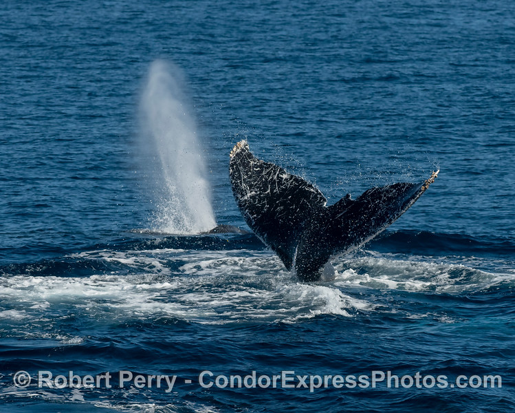 Two humpback whales, one with a very distinctive tail.