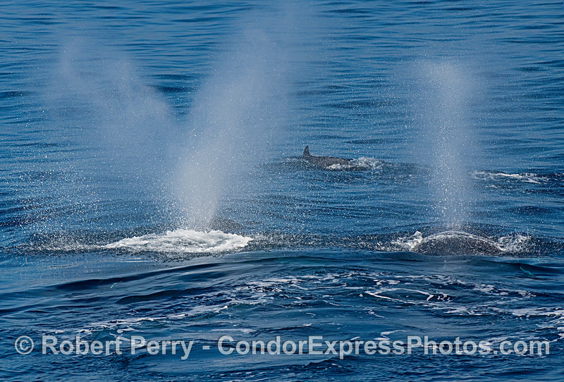A pair of humpback whale spouts fram a long-beaked common dolphin.