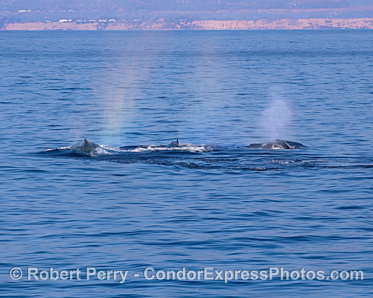 Three humpbacks off the Santa Barbara coast.