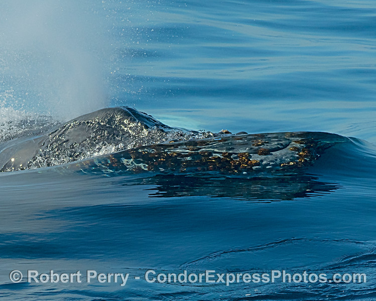 A clear wave window exposes the rostrum of this humpback whale.