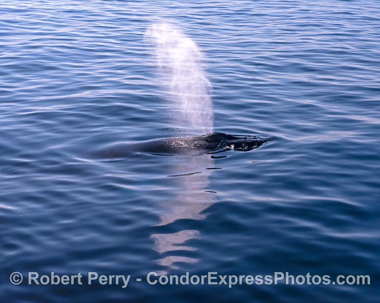 Reflections of a humpback whale.  Subtitle:  My Life Chasing Spouts.