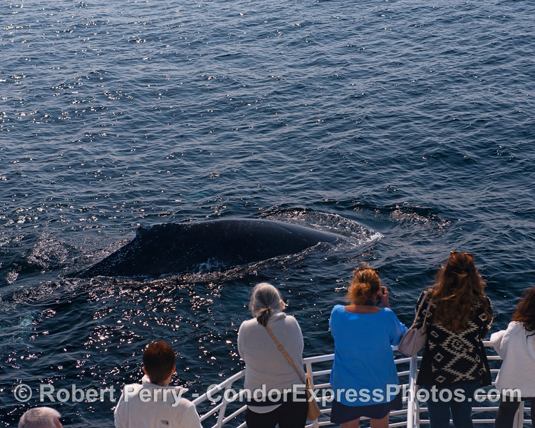 """Whales sometimes get curious and friendly...boat is in """"neutral."""""""