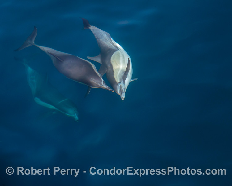 More underwater antics with long-beaked common dolphins