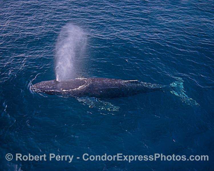 Whole whale.
