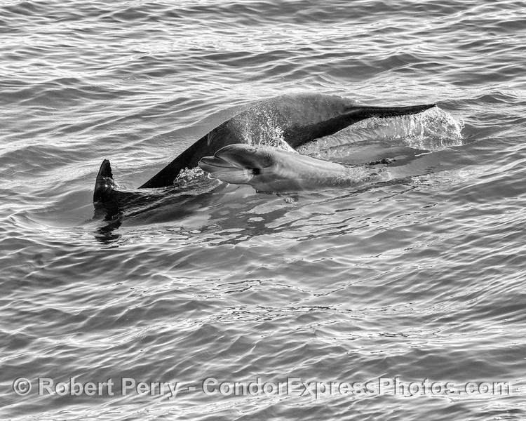 Juvenile bottlenose dolphin (black and white)