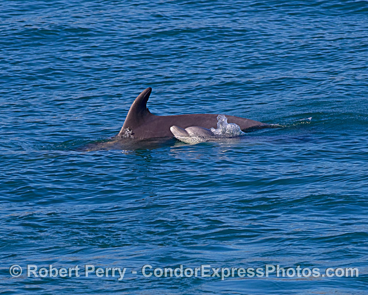 Mother bottlenose dolphin and her calf