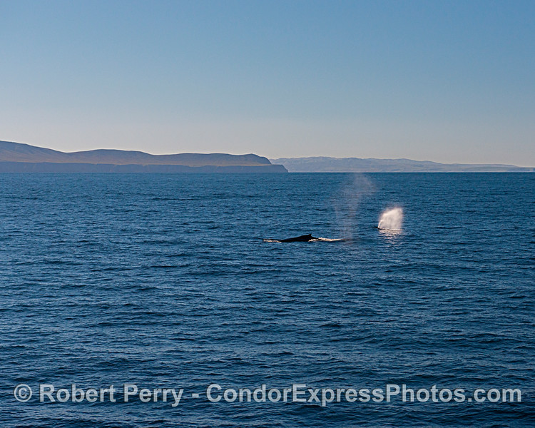 Santa Cruz Island (left) and Santa Rosa Island (right) frame two wonderful humpback whales